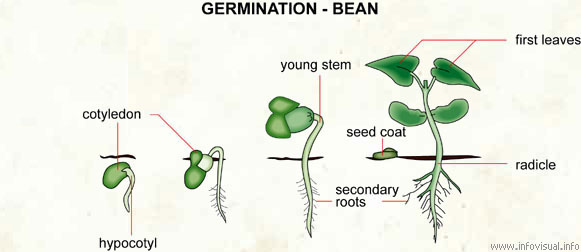 Stages of bean germination