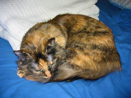 orange and black adult cat snuggled into a ball on a bed
