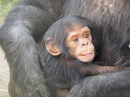 Image of young chimpanzee