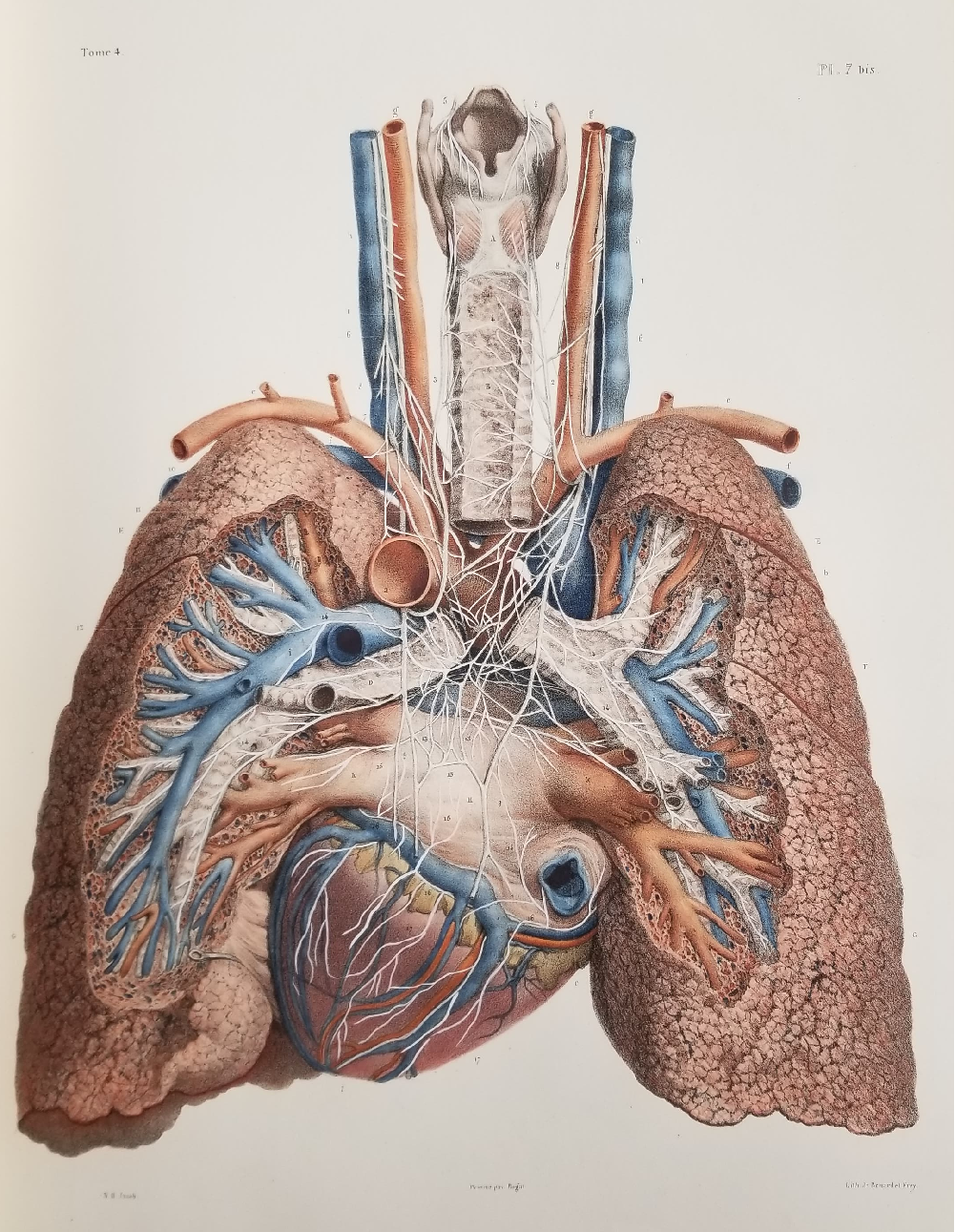 Detailed anatomical drawing of the lungs and heart by Bougery.