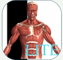 image of the front view of the human body showing the layer of muscle from the head to the bottom of the torso