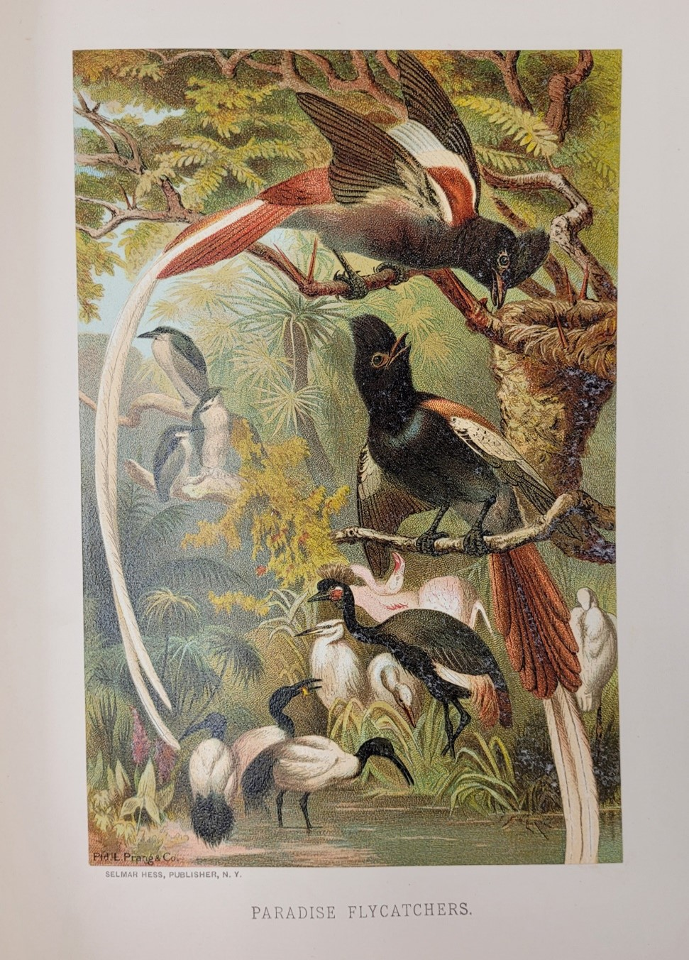 Image of the birds called Paradise Flycatchers in a nature scene with trees and other foliage
