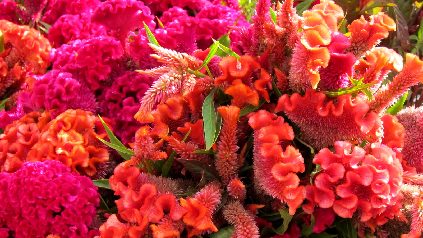 Celosia make long-lasting and beautiful cut flowers; photo courtesy of Flickr cc/cultivar413