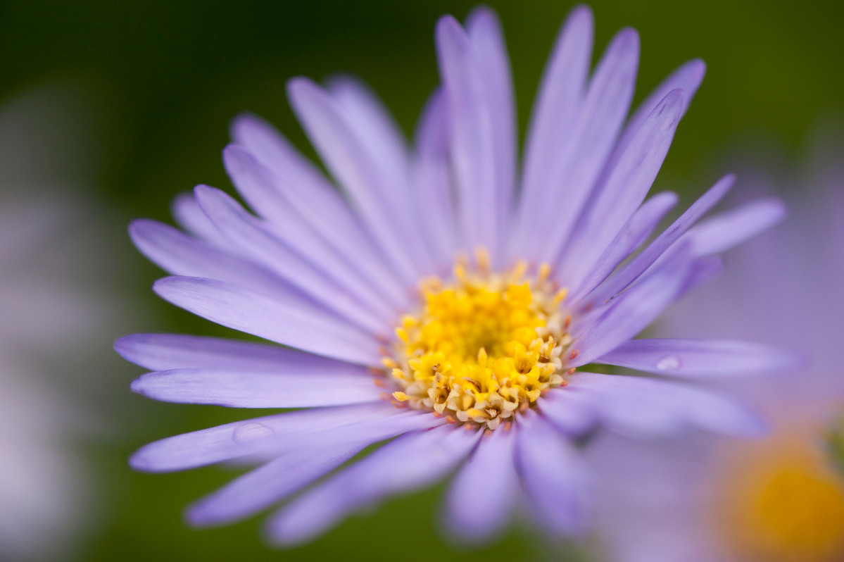 Asters like this Aster frikartii 'Monch' combine well with ornamental grasses; photo by Ivo Vermeulen
