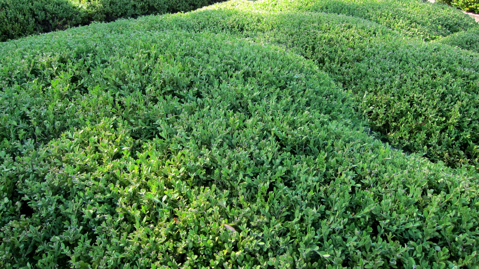 Buxus sinica var. insularis (Korean boxwood) pruned to form an undulating hedge; photo courtesy of Flickr cc/ cultivar413