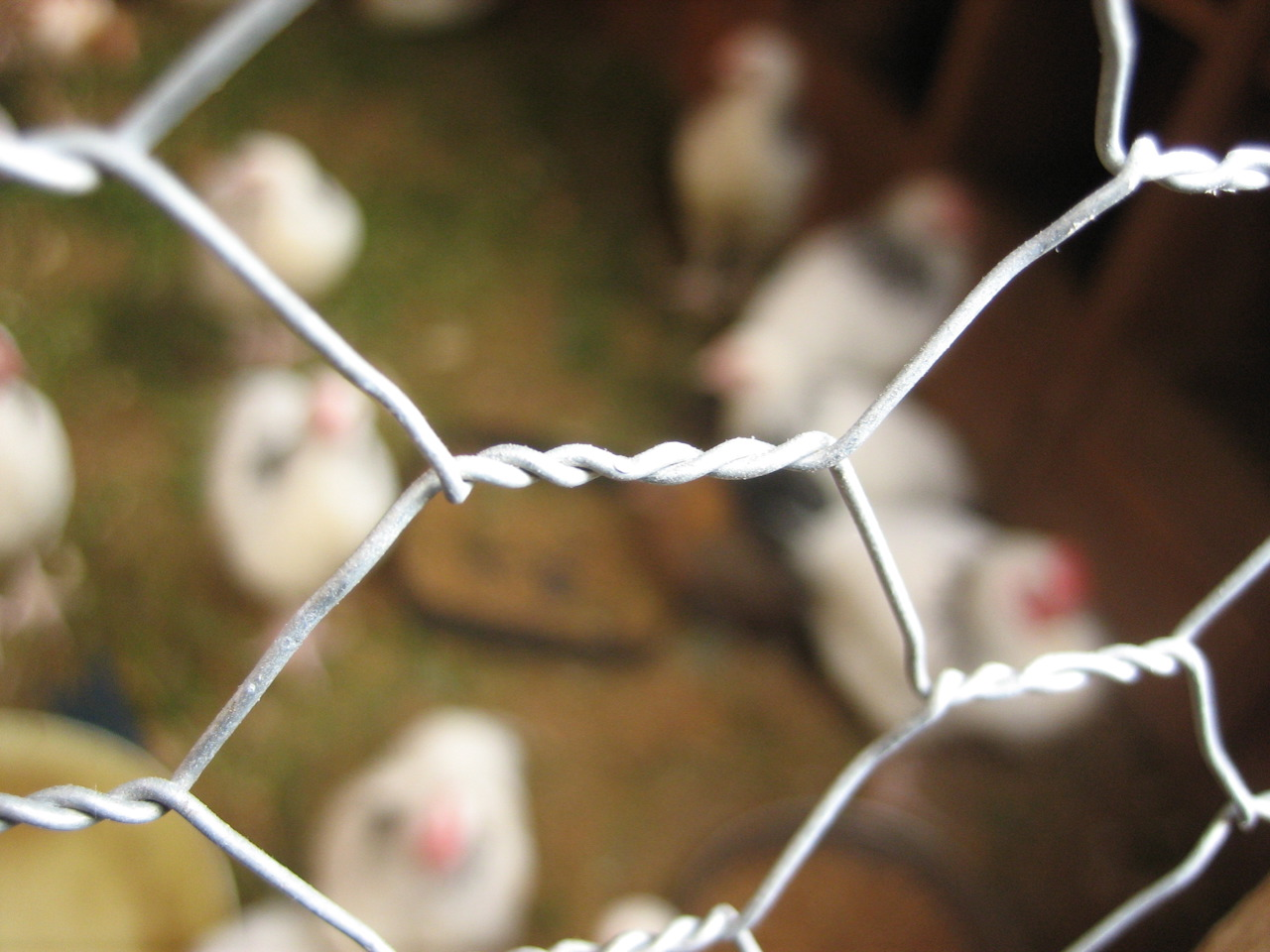 A chicken wire fence can be an effective deterrent; photo courtesy of Flickr cc/Nanimo