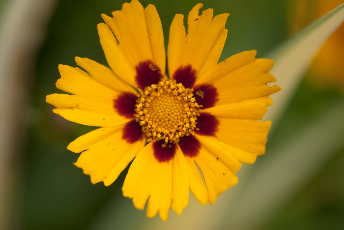 If a plant is in flower, it is best to photograph it at a comfortable distance that allows it to nearly fill the frame, like this Coreopsis 'Sonnenkind'; photo by Ivo Vermeulen