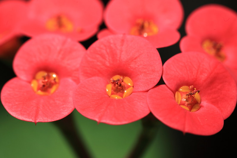 Crown of thorns produce tiny flowers surrounded by a cyathium of fused bracts with colorful, petal-like growth; photo courtesy of Flickr cc/TANAKA Juuyoh