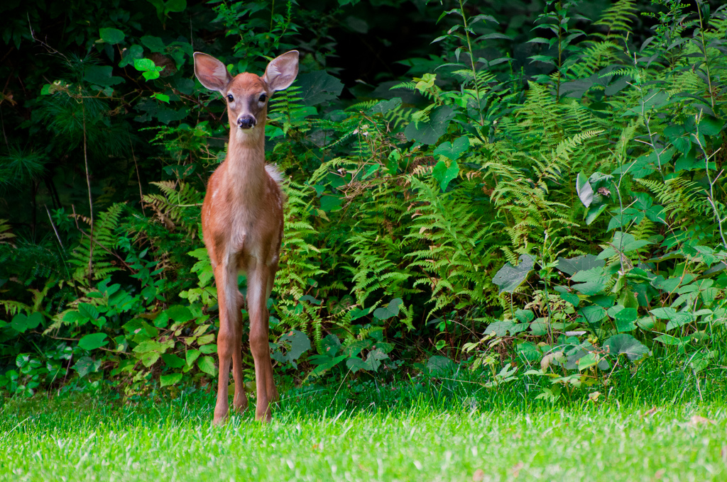 deer amidst garden plants; photo courtesy of Flickr cc/James Lee