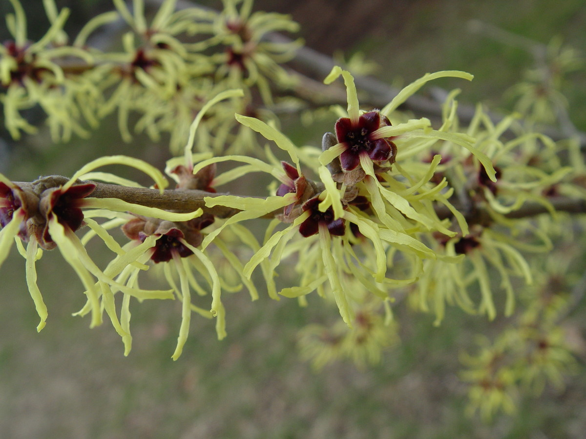 Hamamelis brightens the garden with fragrant midwinter flowers