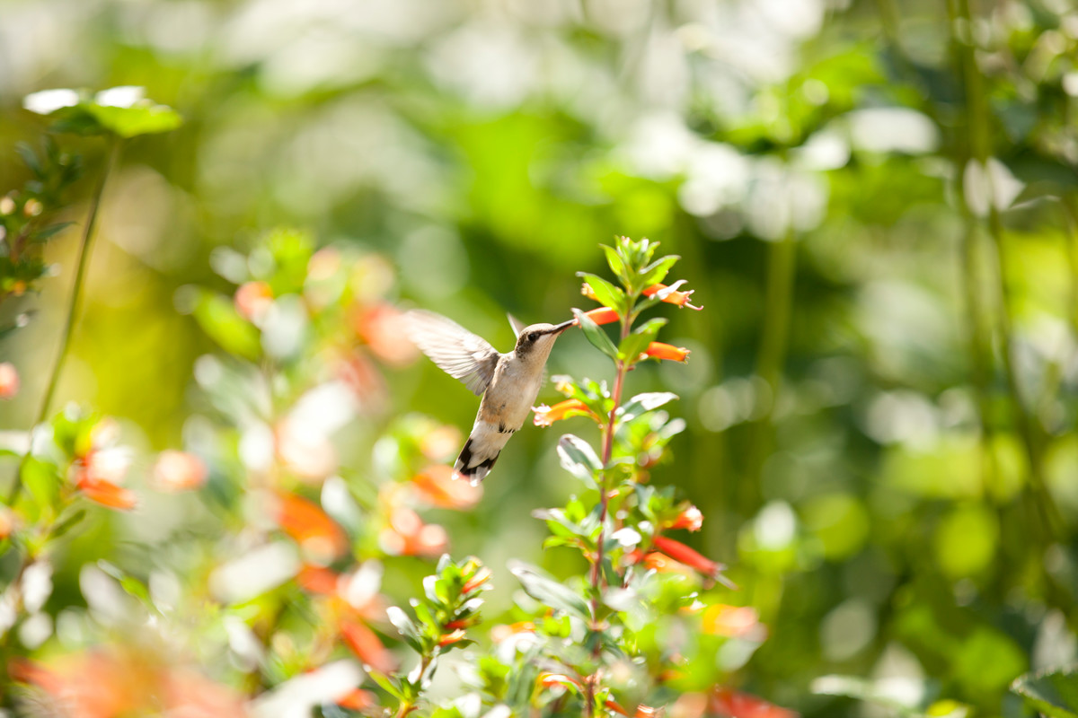Put up a hummingbird feeder (hummingbird shown feeding amongst agastache plants); photo by Ivo Vermeulen