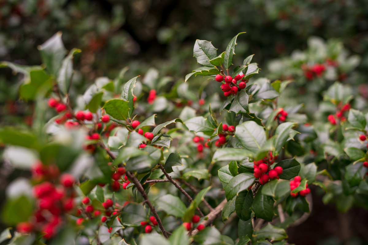 Ilex opaca (American holly) can act as an excellent windbreak; photo by Marlon Co