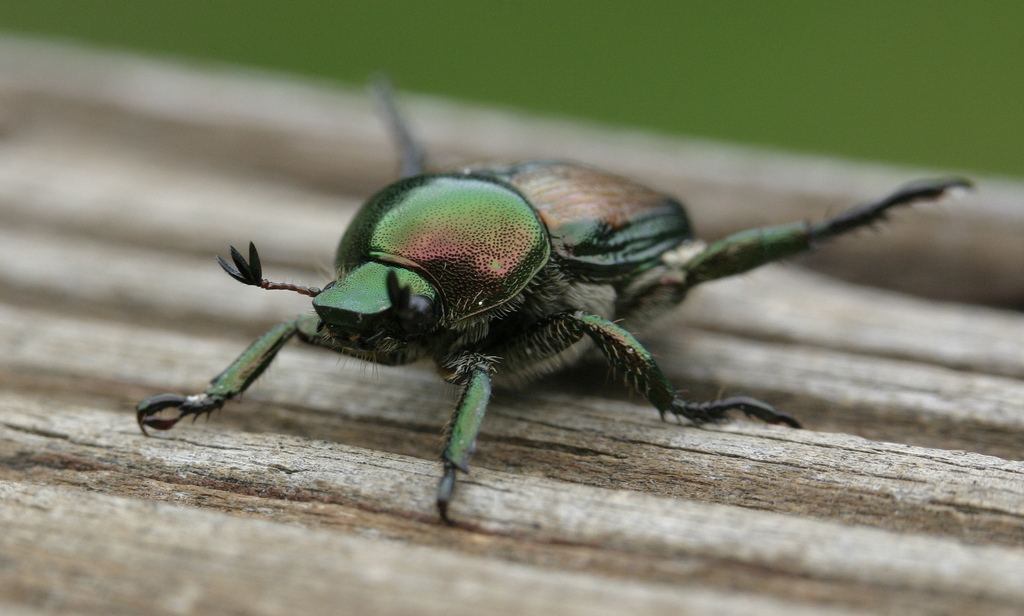Neem oil is effective against japanese beetles; photo courtesy of Flickr cc/Radu Privantu