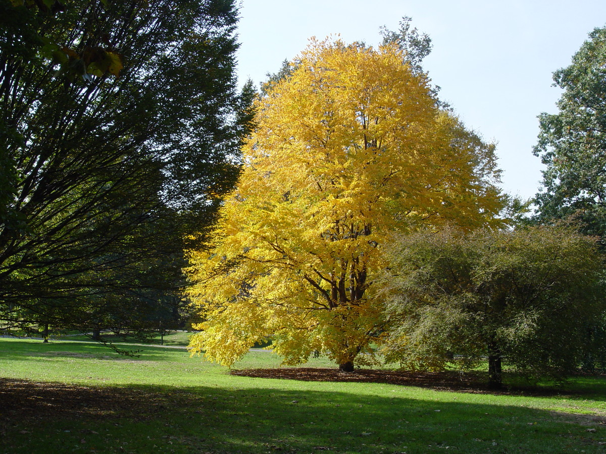 The burnt sugar scent of the autumn leaves of the katsura tree (Cercidiphyllum japonicum) is an aid in identification
