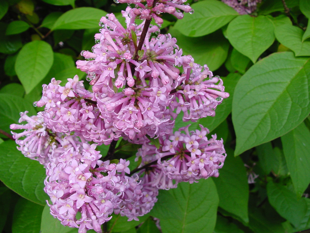 deadhead lilacs after flowering