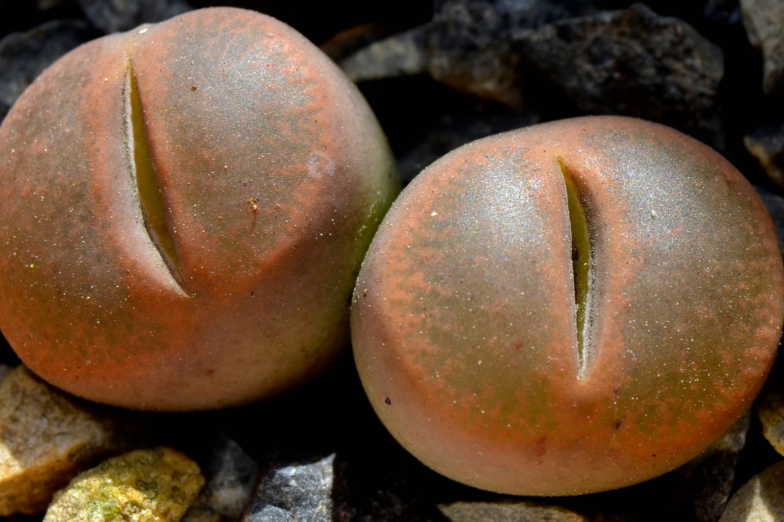 Lithops lesliei; photo courtesy of Flickr cc/Ernest McGray, Jr.