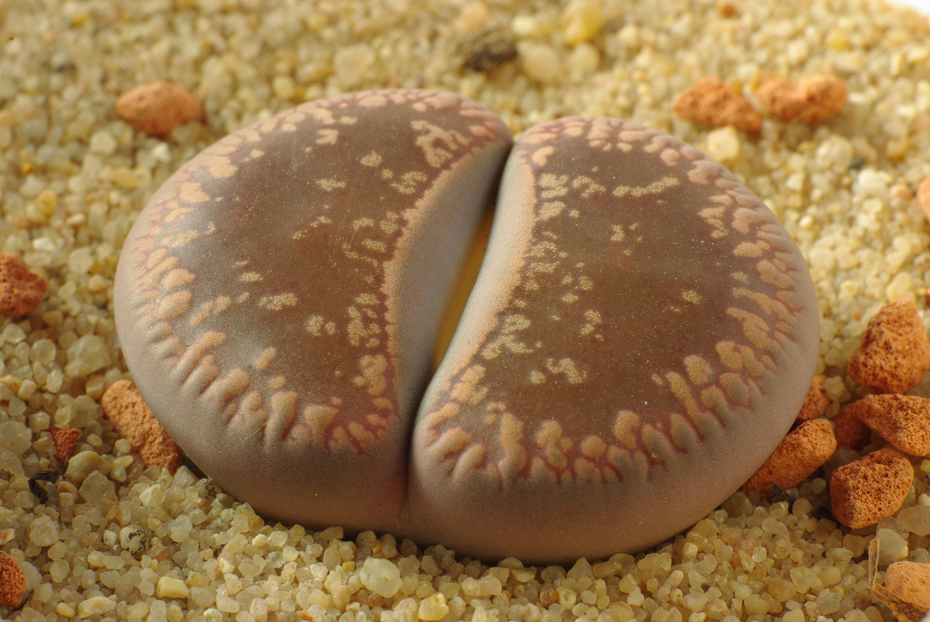 Lithops (living stones); photo courtesy of Flickr cc/ yellowcloud