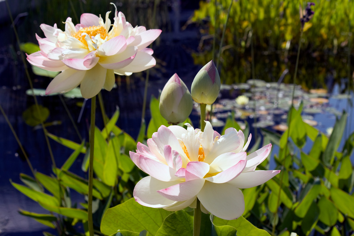 The lotus Nelumbo 'Mrs. Perry D. Slocum' photographed at NYBG
