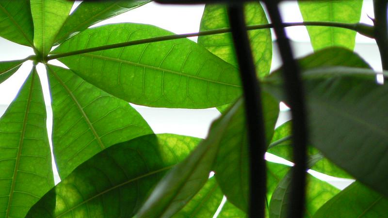 Pacira aquatica (money plant); photo courtesy of flickrcc/ Rick kimpel