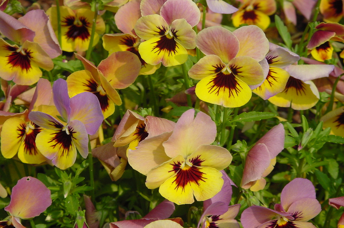 Pansies are a good choice for an indoor  spring container