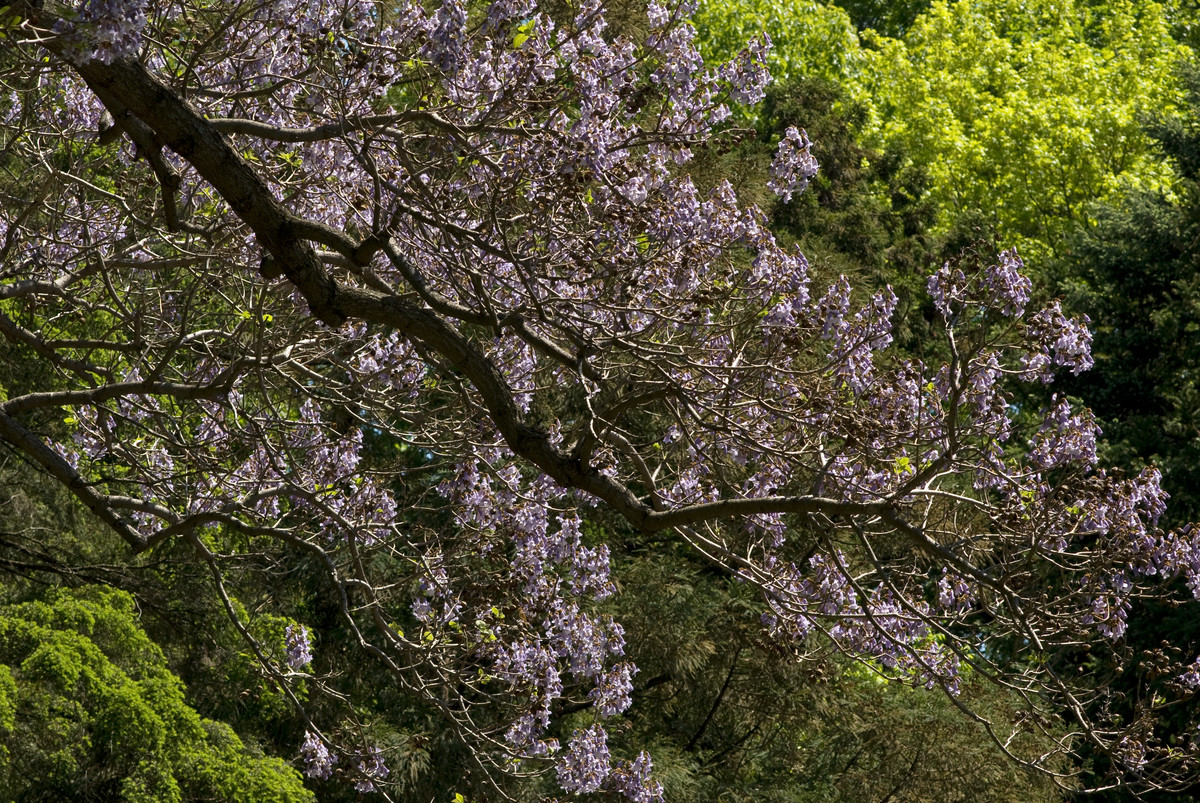 A large Paulownia tomentosa (princess tree) in bloom at NYBG; photo by Ivo Vermeulen