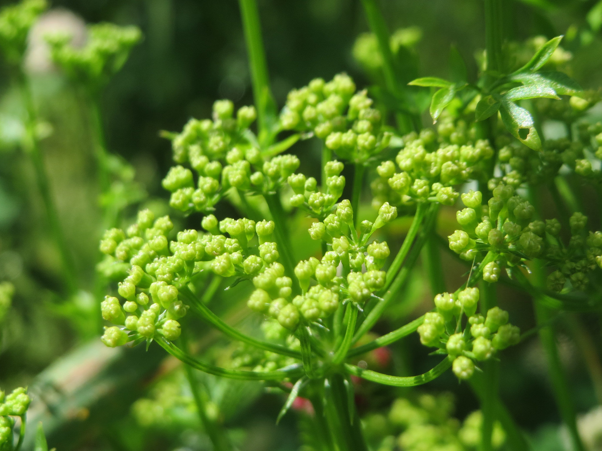 Parsley flowers have a strong scent and attract beneficial insects; photo courtesy of Flickr cc/ Andrea Rockstein