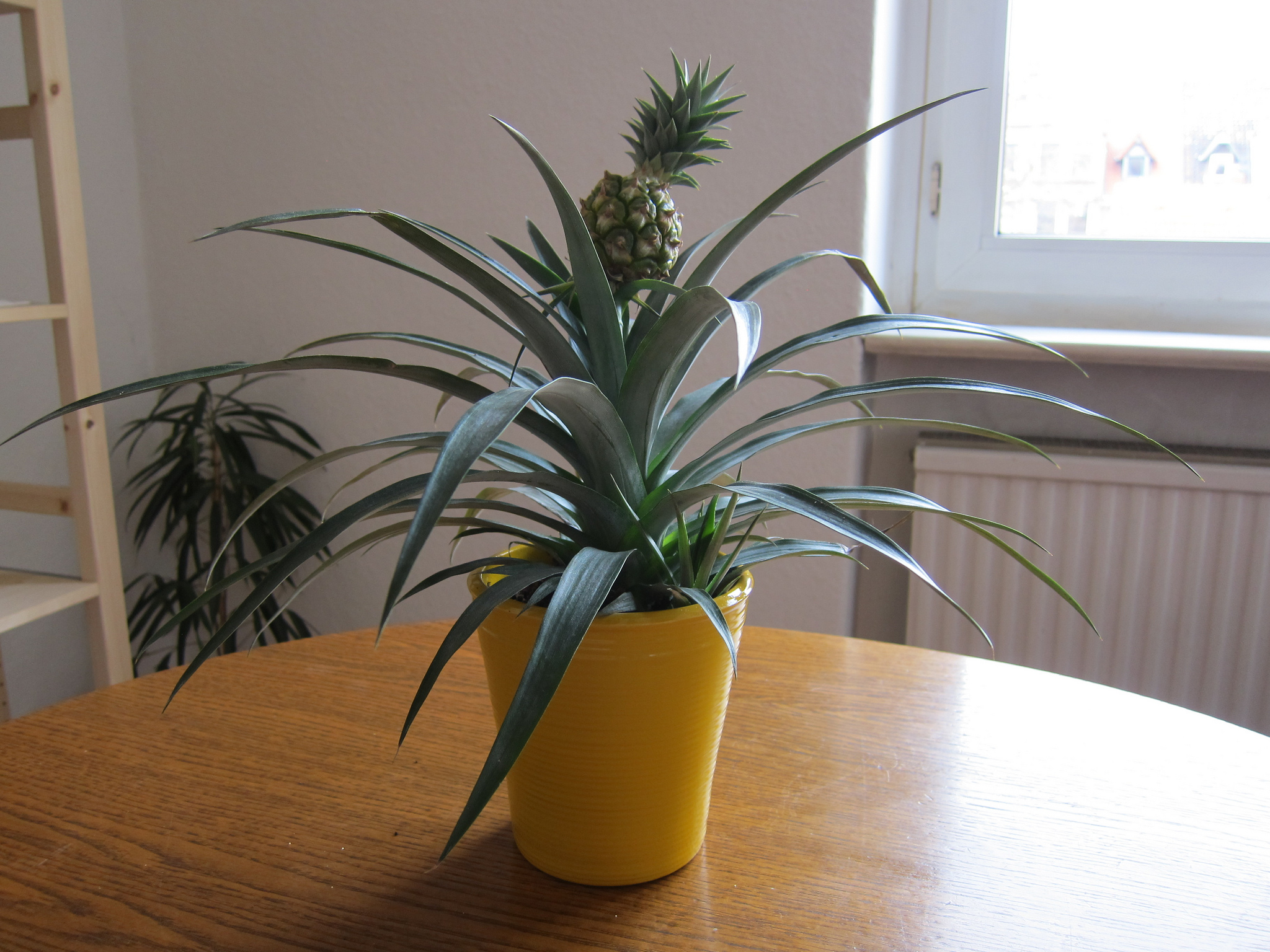 Pineapple plant growing indooors; photo courtesy of Flickr cc/Tobin