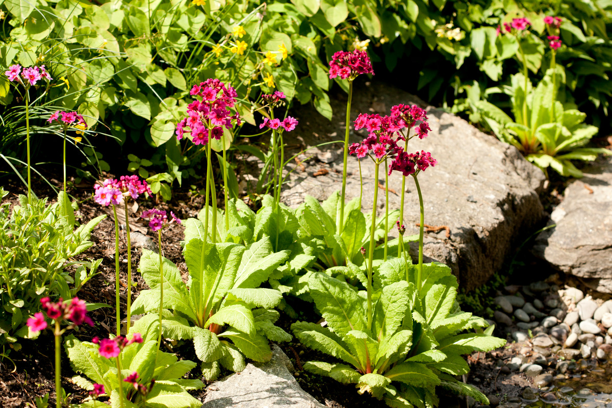 Primula japonica; photo by Ivo vermeulen