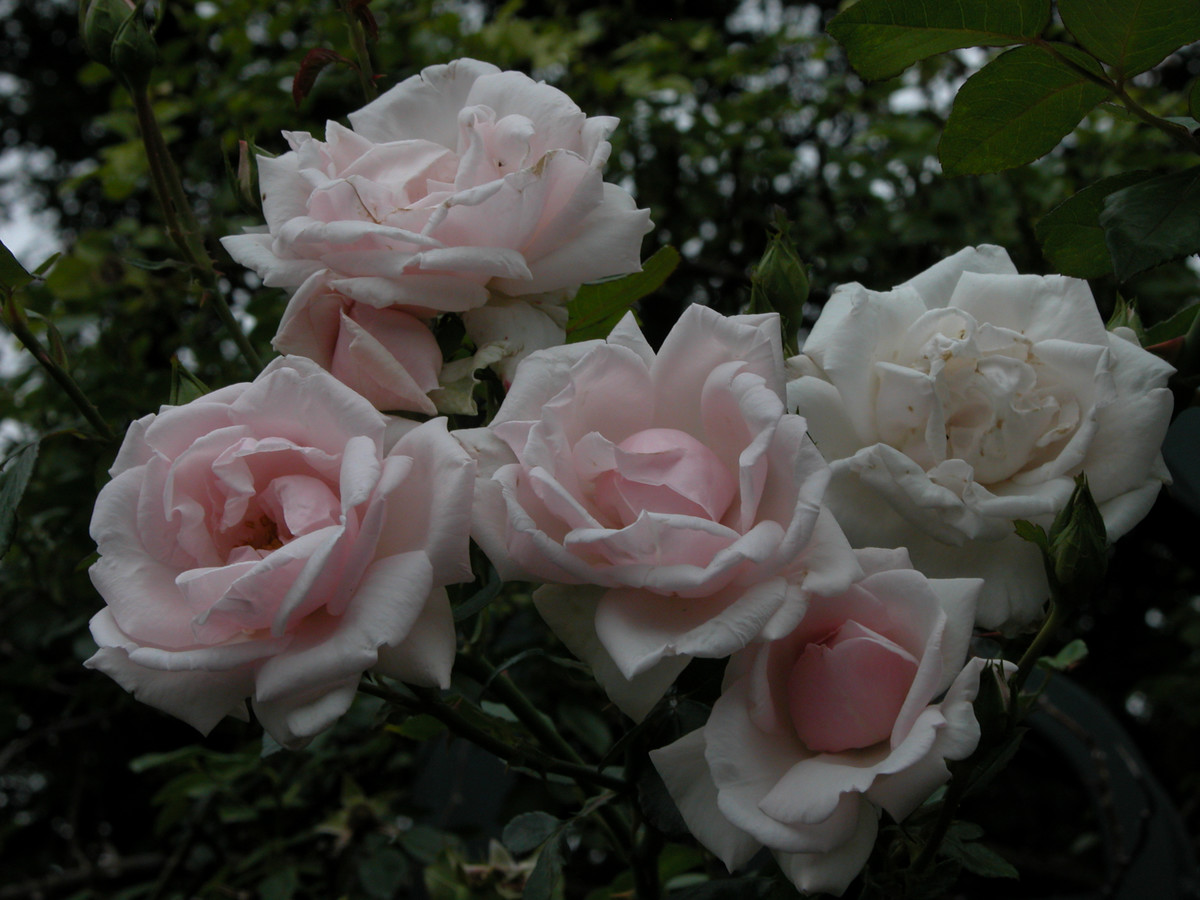 Prune repeat blooming roses, like Rosa 'New Dawn', in late March or early April