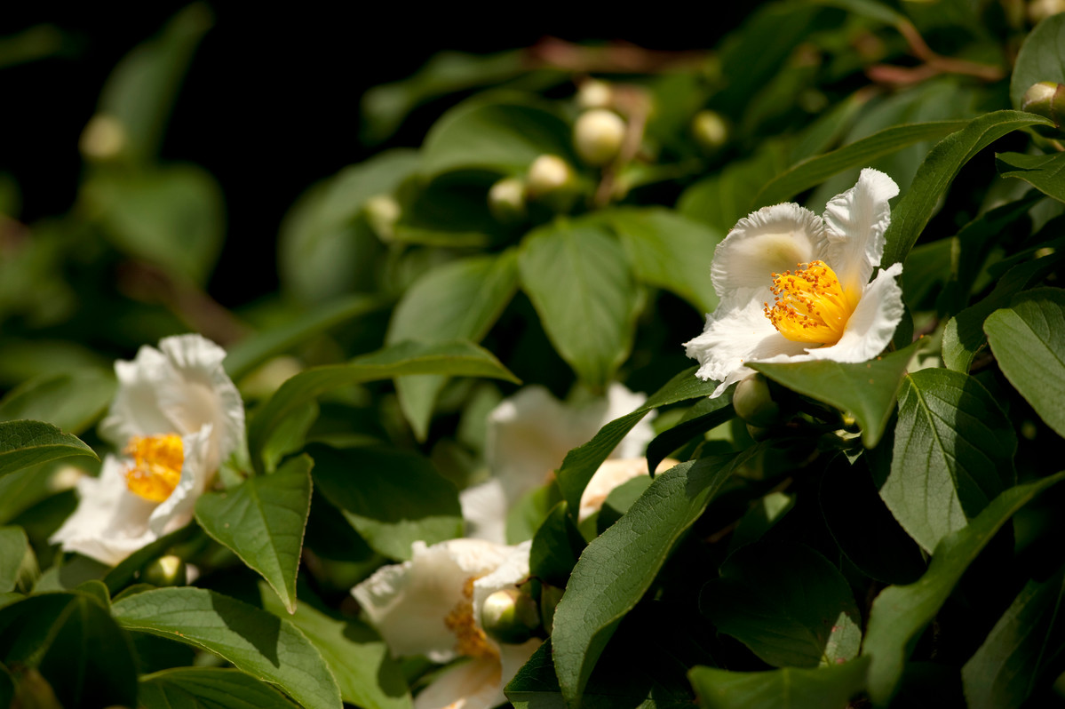 Stewartia pseudocamelia has both stunning flower and beautiful bark; photo by Ivo Vermeulen