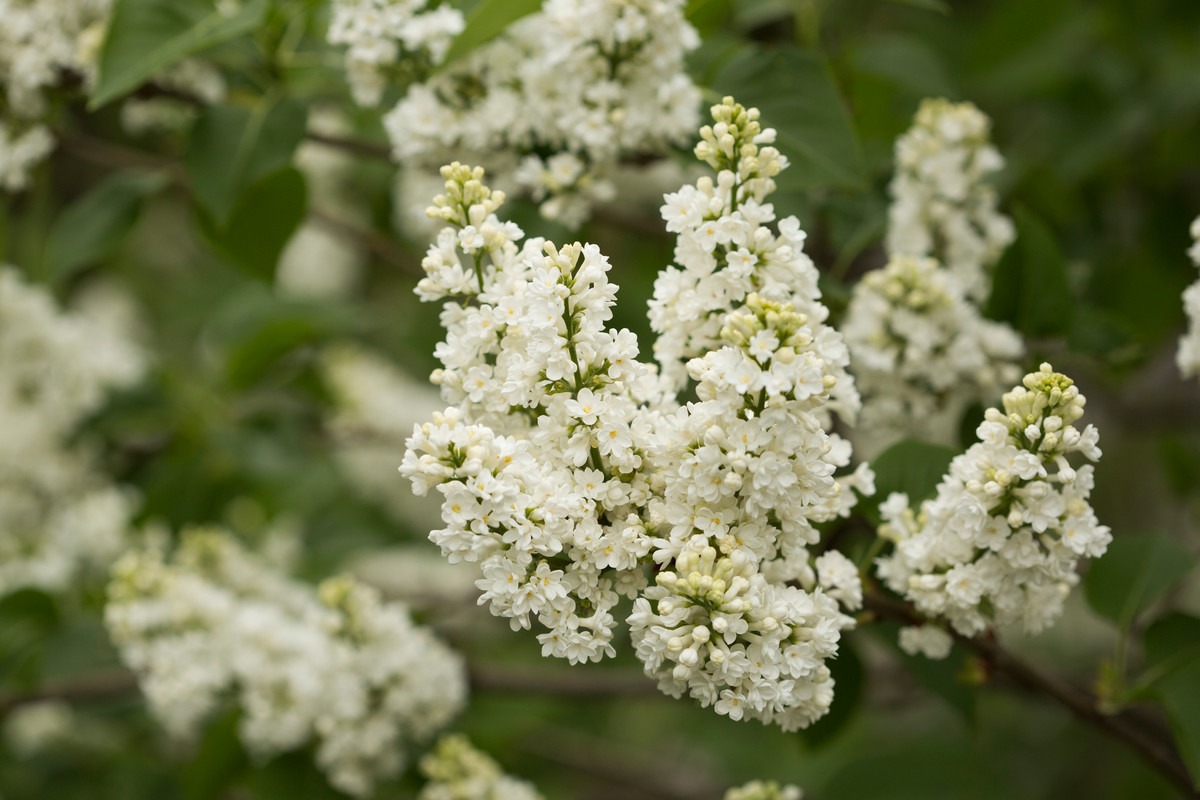 The beautiful white-flowered variety Syringa vulgaris 'Madame Lemoine'