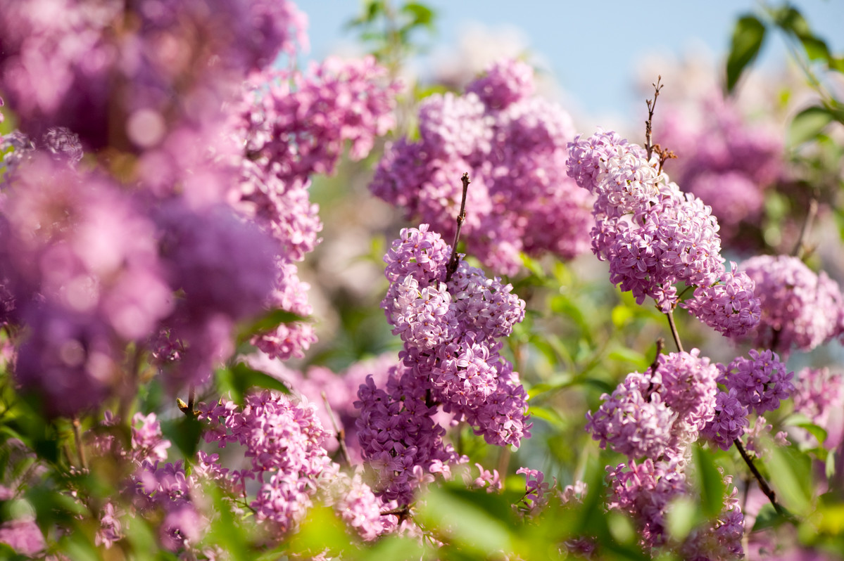The Persian lilac Syringa x persica 'Rubra' is a compact hybrid with profuse flowers; photo by Ivo Vermeulen
