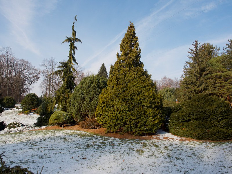 Thuja occidentalis 'Durant' beginning to bronze in early winter; photo courtesy of Flickr cc/ F.D. Richards
