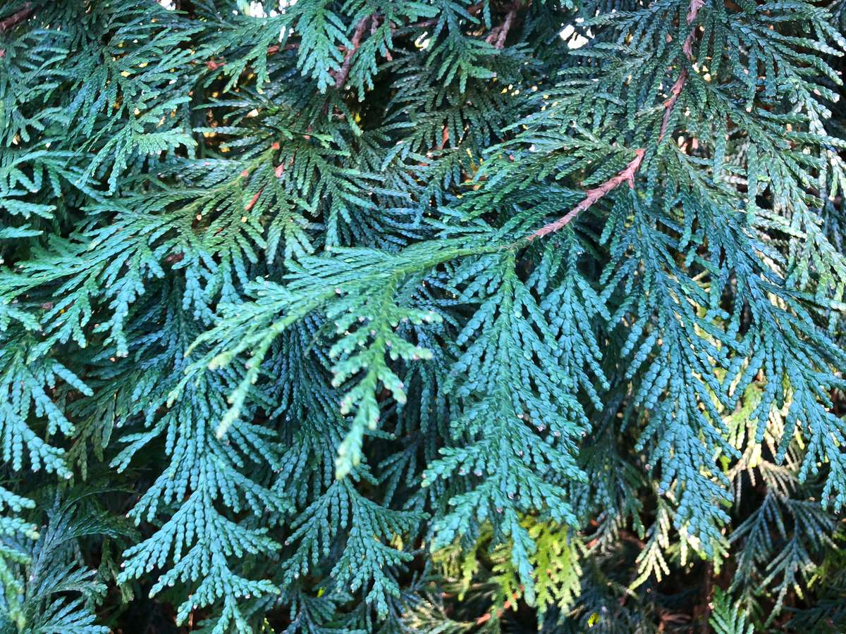 Scaled needles, as seen on this Thuja 'Green Giant', are typical of arborvitae