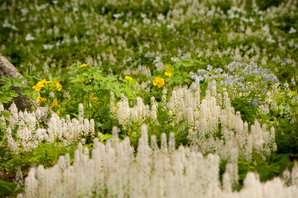 Yellow celandine poppies (<em>Stylophorum diphyllum</em>) appear amidst pale blue <em>Polemonium reptans</em> and creamy <em>Tiarella cordifolia</em> in the Native Plant Garden at NYBG; photo by Ivo M. Vermeulen