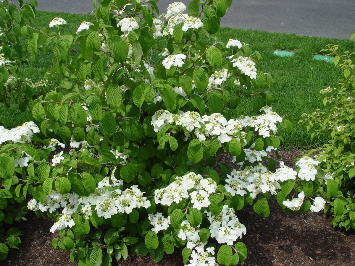 Viburnum plicatum f. tomentosum (doublefile viburnum) can grow to 10 feet and has white flowers in flat rows
