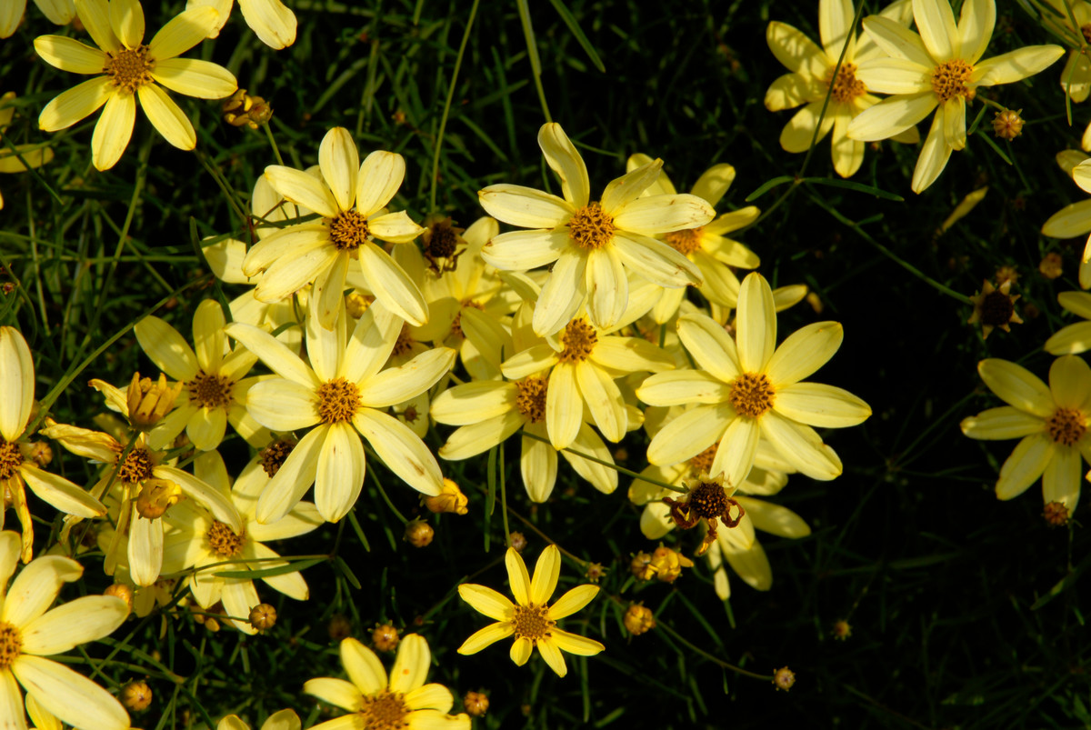 Coreopsis verticillata 'Moonbeam'; photo by Ivo Vermeulen