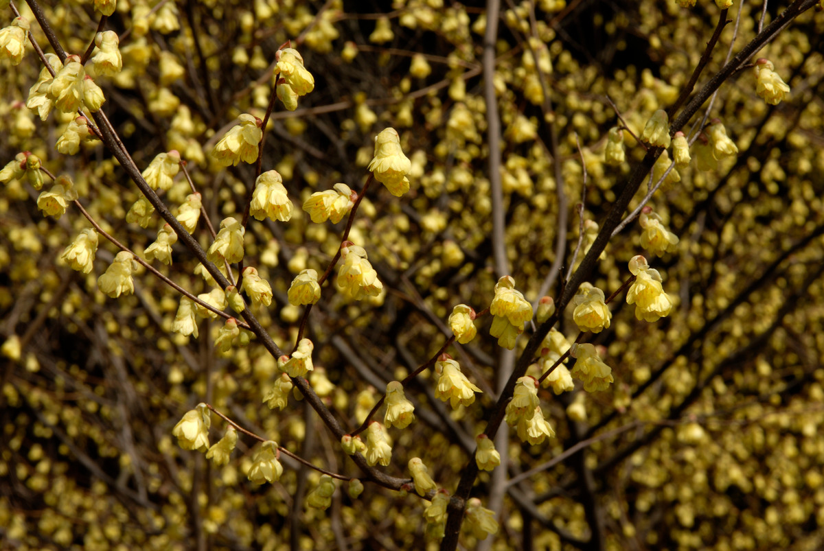 The yellow flowers of Corylopsis pauciflora (buttercup winter hazel); photo by Ivo Vermeulen