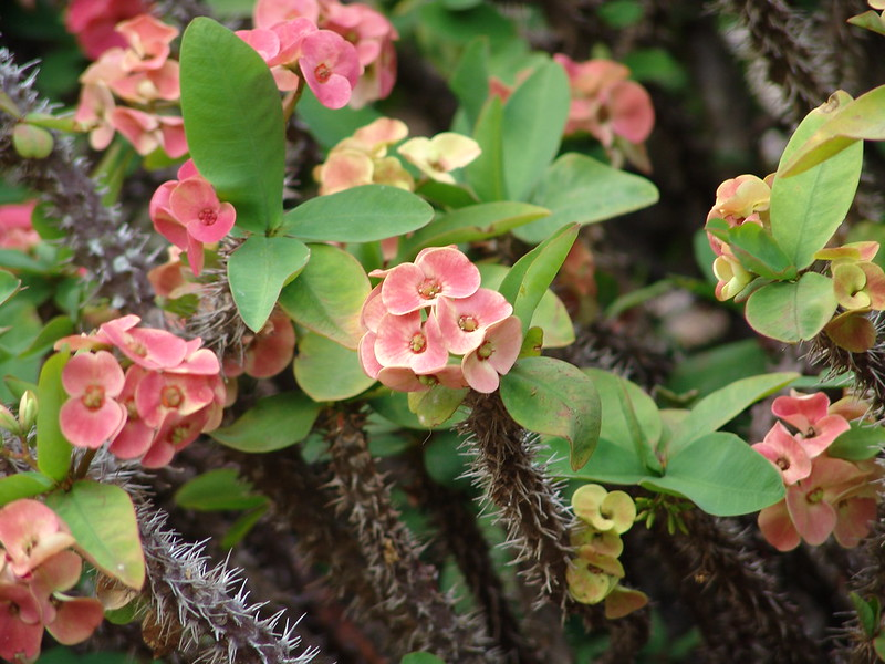 Leaves and showy bracts appear at the end of actively growing stems of Euphorbia milii; photo courtesy of Flickr cc/Drew Avery