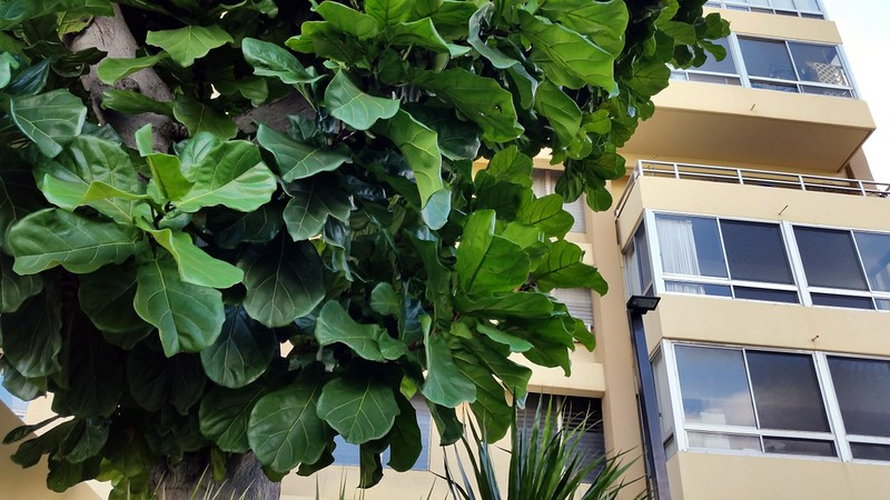 The plants that we grow in our home are immature. This is a mature ficus outdoors in Hawaii; Photo courtesy of Flickr cc/ Wendy Cutler