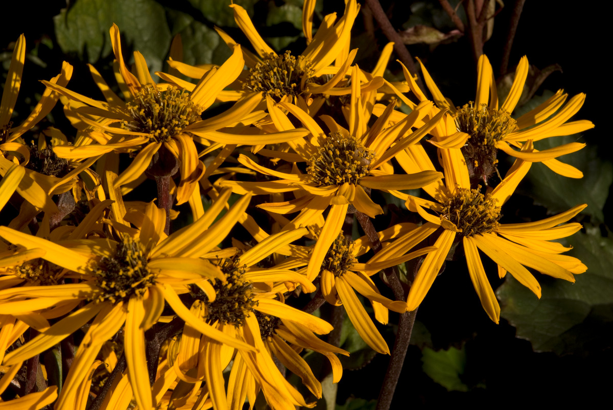 Ligularia dentata 'Britt Marie Crawford'; photo by Ivo Vermeulen