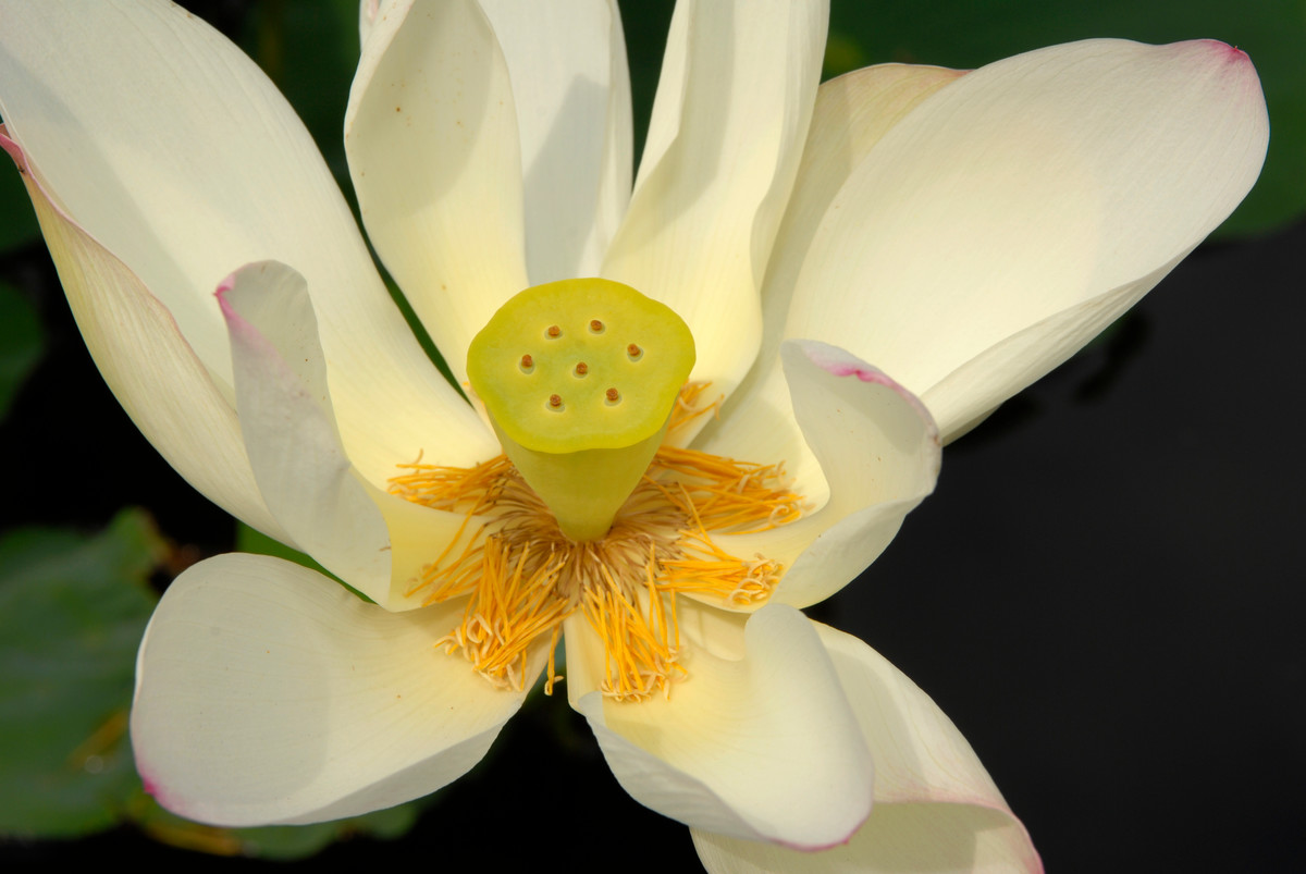 Nelumbo nucifera 'Alba Grandiflora' at NYBG; photo by Ivo Vermeulen