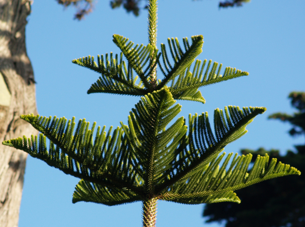 Araucaria heterophylla or Norfolk Island pine; photo courtesy of Flickr cc/ Ernest McGray, jr.