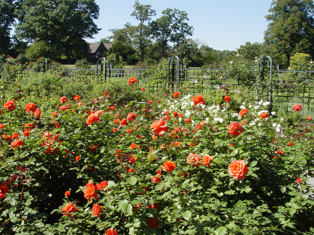 Roses can bloom well into the fall, like these in the Peggy Rockefeller Rose Garden at NYBG