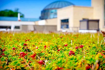 Tis is a photo of sedum growing on the green roof of the Commons addition constructed in 2014. The Read Center can be seen in the background.