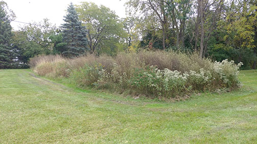 This is a color photo of the new prairie restoration effort found on the west side of the white house on the Alverno campus.