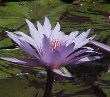 Waterlily Image Galleries