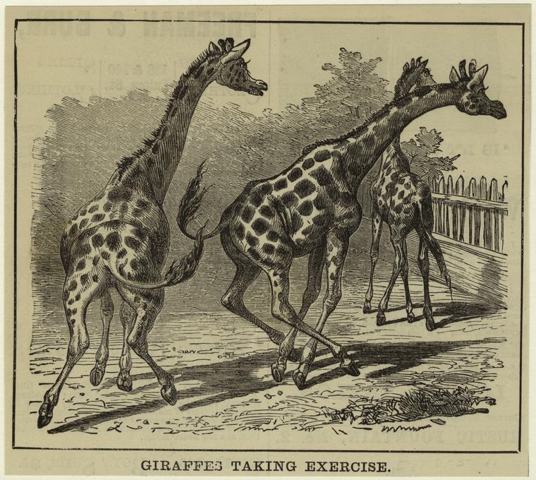 Giraffes Taking Exercise