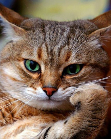 Tabby cat with its paw under it's chin.
