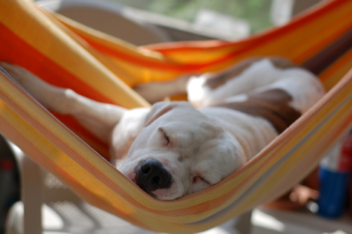 White dog with brown spots napping in an orange striped hammock.